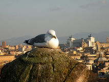 Seagull in Rome. Seagull gull resting on balcony in Rome, Italy Royalty Free Stock Photography
