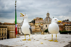 Seagull in rome. With a historic view in the background Royalty Free Stock Photos