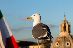 Seagull in Rome with italian flag Royalty Free Stock Photography