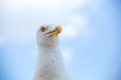 Seagull in Rome, Italy Stock Photography