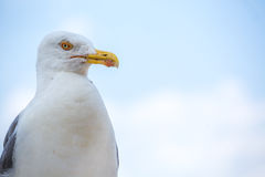 Seagull in Rome, Italy Stock Photo