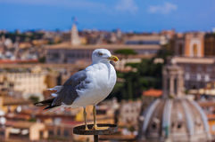 Seagull and Rome Italy cityscape Royalty Free Stock Images