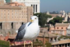 Seagull and Rome Italy cityscape Stock Photography