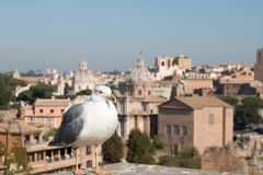 Seagull and Rome Italy cityscape Stock Image