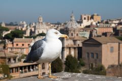 Seagull and Rome Italy cityscape Royalty Free Stock Photography