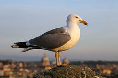 Seagull in Rome Stock Photography