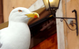 Seagull in Rome Royalty Free Stock Photography