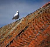 Seagull On Roof Royalty Free Stock Photo