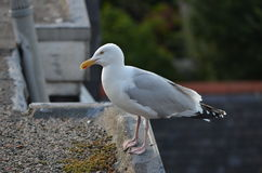 Seagull on the roof. A seagull from Aberdeen, Scotland sitting on a roof Stock Photo