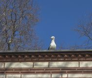 Seagull on the roof and blue sky stock images