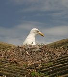 Seagull on roof nesting Royalty Free Stock Photo