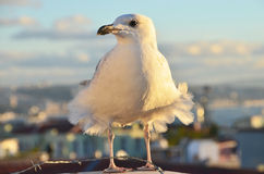 Seagull on the rooftop in Istanbul Stock Photo