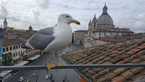 Seagull on rooftop in Piazza Navona, Rome, Italy. Seagull sitting on rooftop over Piazza Navona in Rome, Italy on cloudy day stock photos