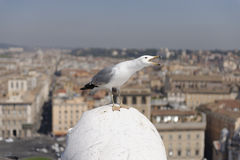 Seagull on rooftop, Rome, Italy. Seagull perched on rooftop overlooking Rome, Italy Stock Photography