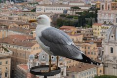 Seagull and rooftops of Rome royalty free stock photos
