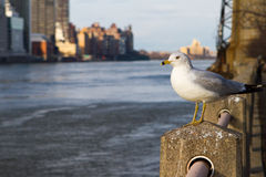 Seagull in New York City. Seagull on Roosevelt Island with Manhattan in background royalty free stock photos