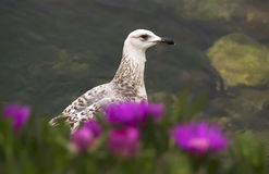 Seagull and Roses. Young seagull standing and looking through flowers Royalty Free Stock Images