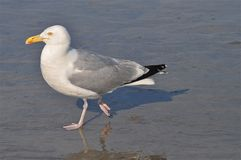 Seagull routine Stock Photography