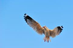 Seagull rozszerzania się skrzydła fotografia stock