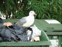 Seagull in the rubbish. Seagull while looking for food in the rubbish Royalty Free Stock Images