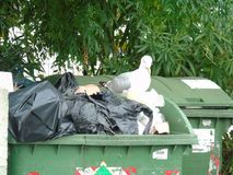 Seagull in the rubbish. Seagull while looking for food in the rubbish Stock Image