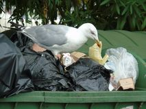Seagull in the rubbish. Seagull while looking for food in the rubbish Royalty Free Stock Image