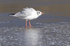 A seagull standing on the ice royalty free stock photos