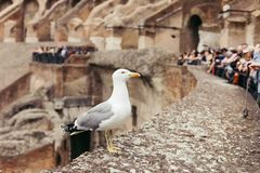 Seagull on the ruins of the Colosseum royalty free stock photos