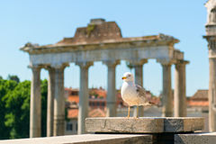 Seagull is the ruins of the Roman Forum in Rome Stock Image