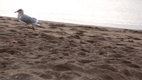 Seagull running sandy beach. One bird walking cloudy day stock video footage