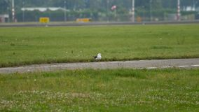 Seagull in Amsterdam airport. Seagull at runway. Rack focus. Airport of Amsterdam, Holland stock footage