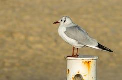 Seagull on a Rusty Pole Stock Photos
