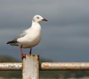 Seagull on rusty railing Royalty Free Stock Photos