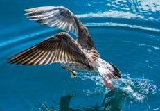 Seagull`s bite Royalty Free Stock Photo