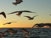 Seagull's chase. Herring gulls (Larus argentatus) are chaseing fishingboat during sunrise, silhouette stock photography