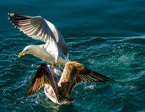 Seagull`s fight over bite Stock Photo