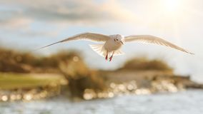 Seagull's flight in beautiful backlight Royalty Free Stock Photos