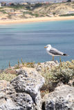 Seagull and Sagres beach Royalty Free Stock Photos