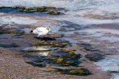 Seagull at Salar de Tara - Chile stock photography