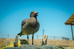 Seagull in san cristobal galapagos islands Stock Photo