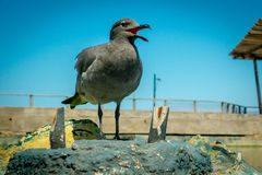 Seagull in san cristobal galapagos islands Royalty Free Stock Images