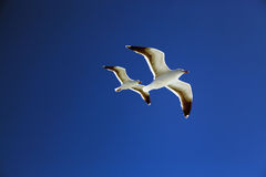 Seagull of San Francisco Stock Photography
