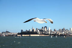 Seagull of San Francisco Stock Photos