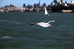 Seagull of San Francisco Royalty Free Stock Photos