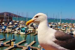 Seagull of San Francisco. A good scene about seagull Stock Images