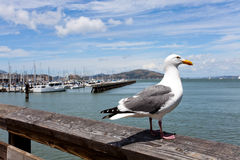 Seagull and San Francisco bay Stock Image