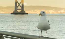 Seagull in san francisco Stock Images