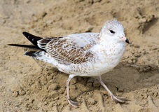 Seagull On The Sand Stock Photography