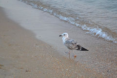 Seagull on sand on a beach Royalty Free Stock Image