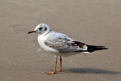 Seagull on the sand beach Stock Photography